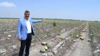 Ayhan Barut, hasat yapılmadan sürülen karpuz tarlasından seslendi