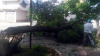 Kozan'da fırtına ağaçları devirdi
