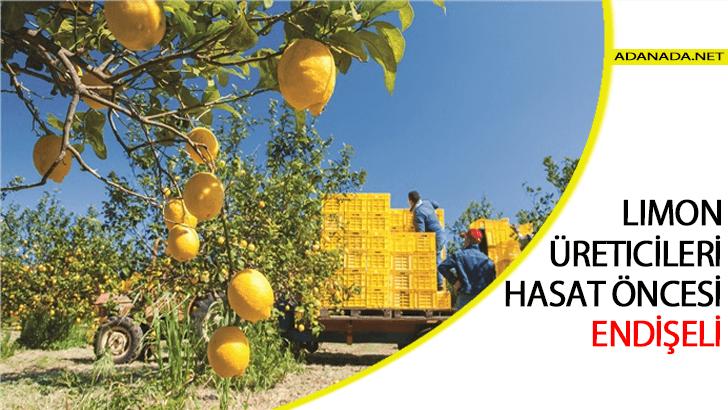 Limon Üreticileri Hasat Öncesi Endişeli
