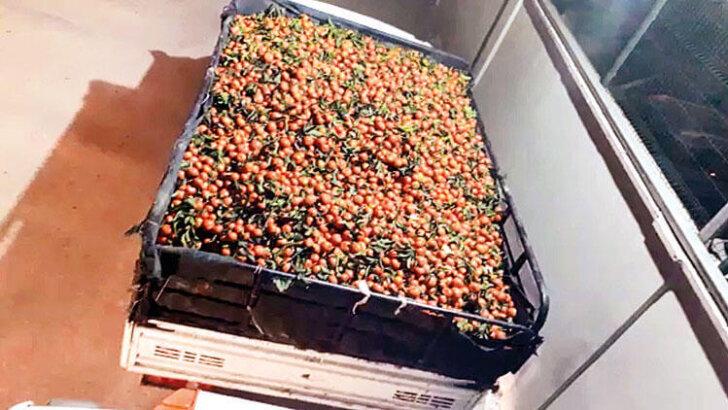 Mandalina hırsızları: 15 ton çaldılar