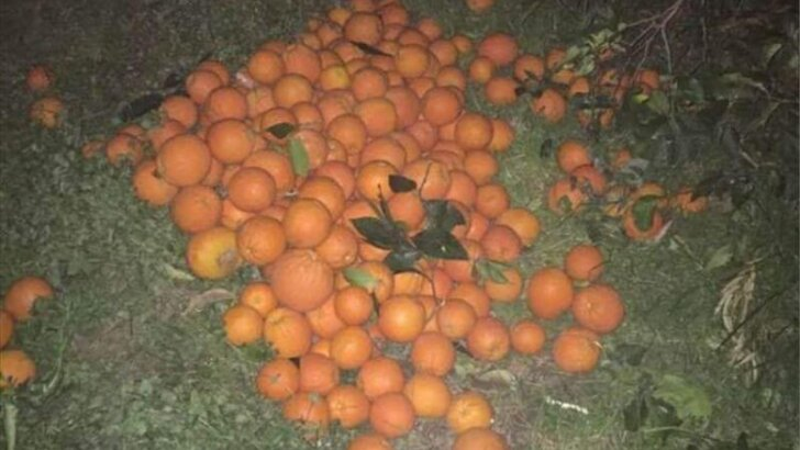 Adana'da narenciye bahçesinden hırsızlık: 5 gözaltı
