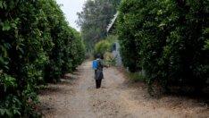 Adana'da Akdeniz meyve sineğiyle mücadele başladı