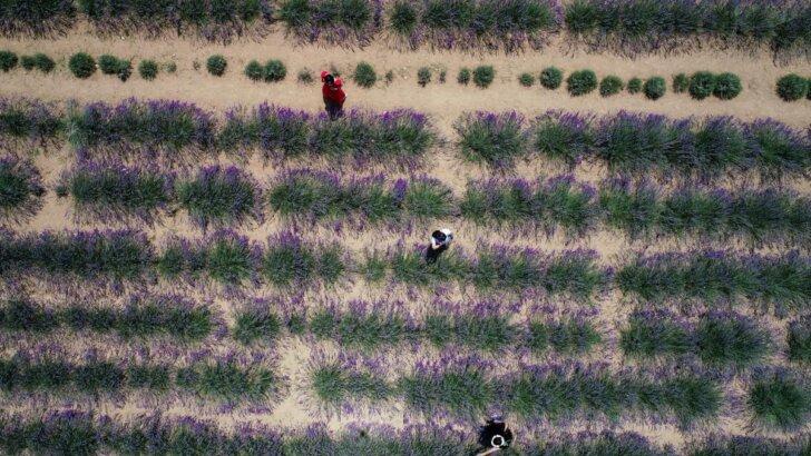 Adana'nın görsel şölen sunan lavanta bahçeleri fotoğraf tutkunlarını ağırlıyor